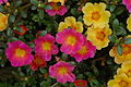 Unidentified Portulaca flowering in a garden 4.jpg
