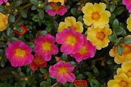Unidentified Portulaca flowering in a garden 4