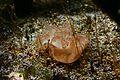 Upside-down jellyfish (Cassiopea xamachana).jpg