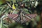 Urania moth (Urania boisduvalii).JPG