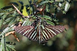 <i>Urania</i> (moth) Genus of moths