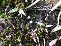 Utricularia striatula-2-upper kothaiyar-tirunelveli-India.jpg