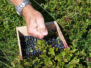 Berry-picking rake - bilberries being collected with a berry-picking rake in the Massif central)