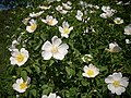 Vadrózsa ( Rosa canina ).jpg