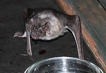 The image depicts a vampire bat on its arms and legs, staring at the camera. In the foreground is a dish of water.