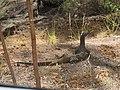 Varanus gouldii (25138888857).jpg