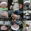 Variation in size and colour of the Piptoporus betulinus (Birch Polypore or Razorstrop Fungus or Birch Bracket, D= Birchenporling, F= Polypore du bouleau, NL= Berkenzwam), white spores, causes brownrot at Schaarsbergen - panoramio.jpg