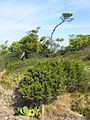 Vegetation - San Domino Island, Tremiti, Foggia, Italy - August 2013 04.jpg