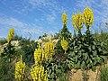Verbascum speciosum sl28.jpg