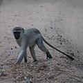 Vervet Monkey (6623556515).jpg