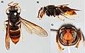 Vespa velutina (10.3897-evolsyst.4.47358) Figure 1.jpg
