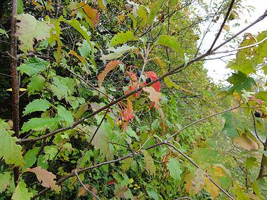 Viburnum lentago SCA-04784.jpg