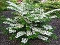 Viburnum plicatum 'Cascade'.jpg