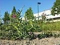 Vicia angustifolia subsp. segetalis sl23.jpg
