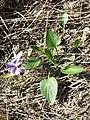 Viola ambigua sl92.jpg