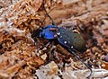 Violet Ground Beetle (Carabus problematicus) hibernating in dead wood (13533781223).jpg