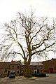 Vrijheidsboom , opgaande plataan - 374909 - onroerenderfgoed.jpg