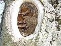Walnussbaum+Pilzbefall.jpg