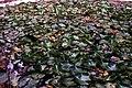 Water lilies at Maruhubi palace (3187665296).jpg