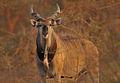 Western Derby Eland (Taurotragus derbianus derbianus) 3.jpg