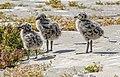 Western Gull Chicks (42181573364).jpg