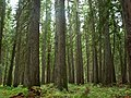 Western redcedar grove, Moose Creek, Selway-Bitteroot Wilderness, Idaho, USA.jpg