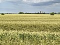 Wheat Field and Old Windmill - geograph.org.uk - 494336.jpg
