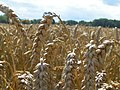 Wheat field - geograph.org.uk - 915902.jpg