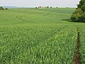 Wheat on Gore Hill - geograph.org.uk - 838303.jpg