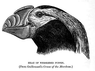 Tufted puffin - 1895 portrait of breeding adult