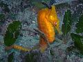 White's Seahorse-hippocampi whitei (22534366890).jpg