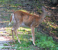 White-tailed Deer, female.jpg