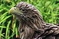 White-tailed Eagle near a lake.jpg