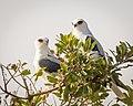 White-tailed Kites (27612616499).jpg