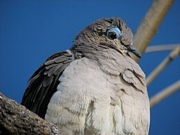 White-tipped Dove 08