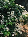 White Bougainvilleas.jpg