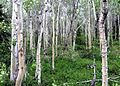 White Forest (8485281682).jpg
