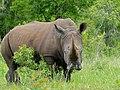 White Rhino (Ceratotherium simum) (12615447073).jpg