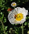 White flower and a bee.jpg