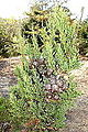 Widdringtonia nodiflora - Mendocino Coast Botanical Gardens - DSC02053.JPG