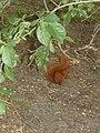 Wiewiórka na Cytadeli.JPG