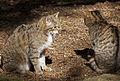 Wild Cats (5697030202).jpg