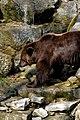 Wildpark Bad Mergentheim. Braunbär am Wasser.jpg