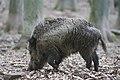 Wildschwein im Wildpark Betzenberg.jpg