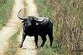 Wildwaterbuffalo.jpg