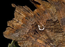 Wing detail of Polygonia c-album.jpg