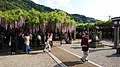 Wisteria trees in Kurogi, Fukuoka, Japan.jpg