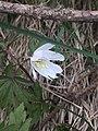 Wood Anemone (Anemone nemorosa) 2932849 - 04.JPG