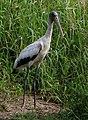 Wood Stork - Myakka River State Park.jpg