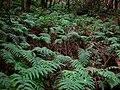 Woodwardia radicans anaga20.jpg